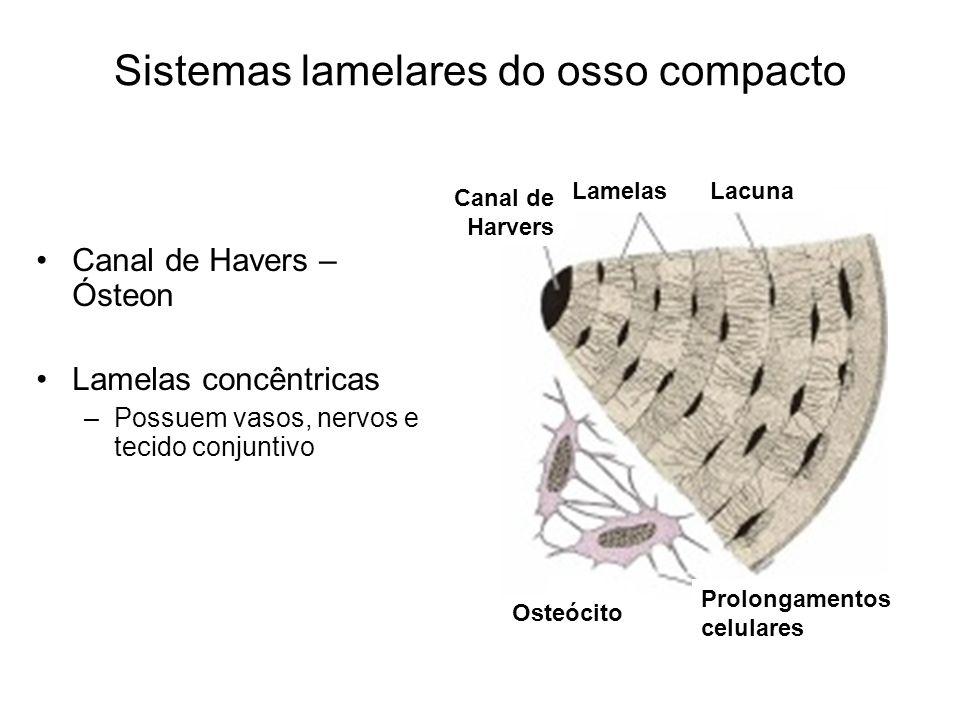 Sistemas lamelares do osso compacto