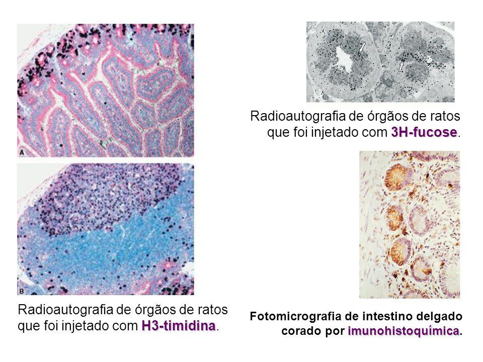 Radioautografia de órgãos de ratos que foi injetado com 3H-fucose.