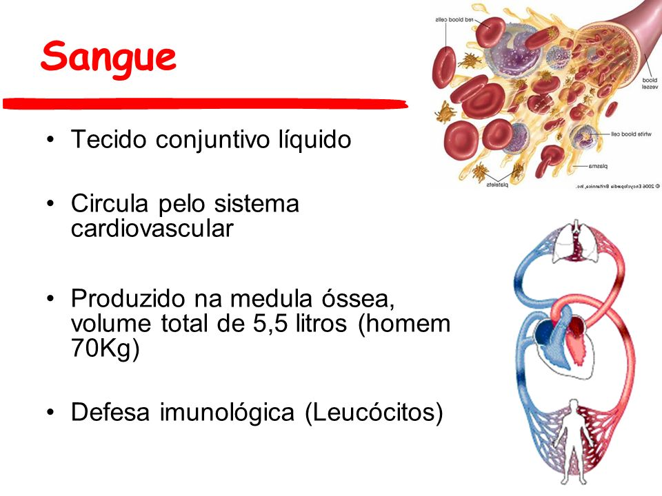 Sangue Tecido conjuntivo líquido Circula pelo sistema cardiovascular