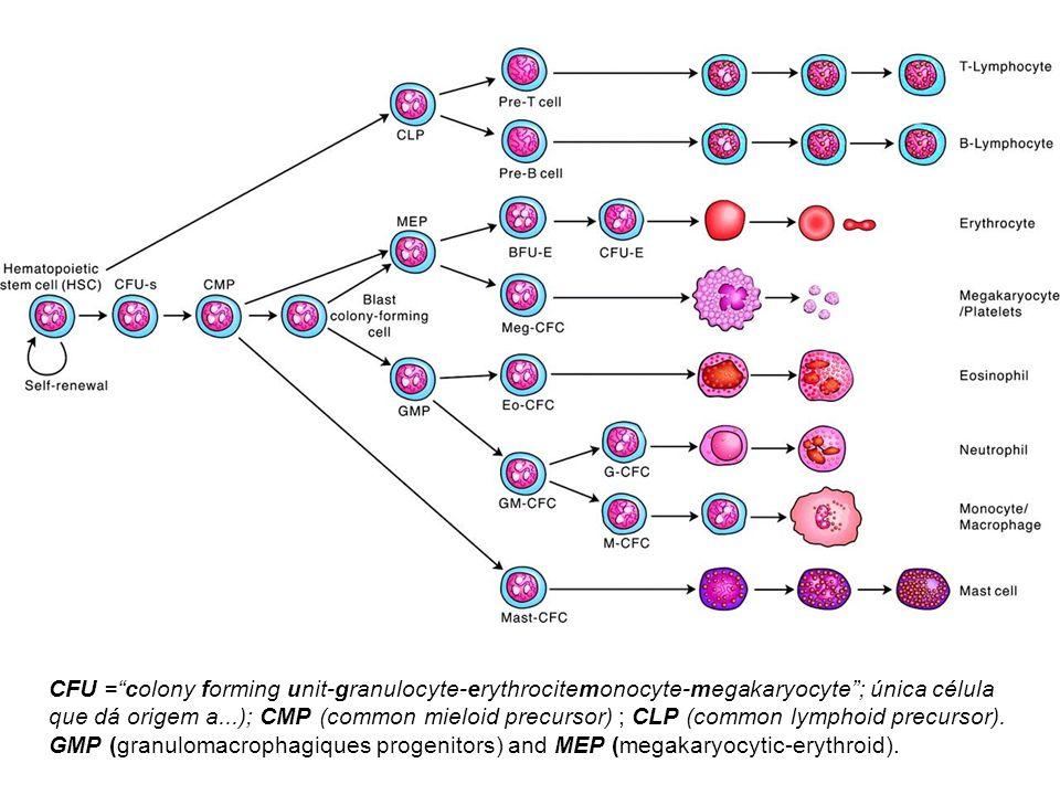 CFU = colony forming unit-granulocyte-erythrocitemonocyte-megakaryocyte ; única célula que dá origem a...); CMP (common mieloid precursor) ; CLP (common lymphoid precursor).