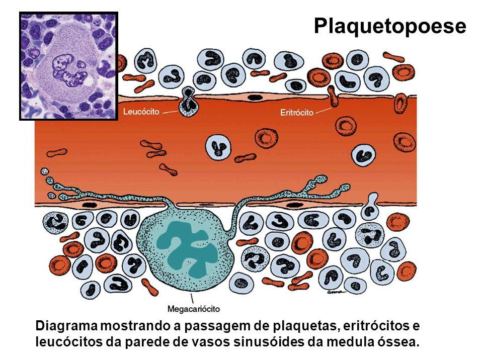 Plaquetopoese Diagrama mostrando a passagem de plaquetas, eritrócitos e leucócitos da parede de vasos sinusóides da medula óssea.