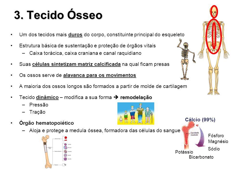 3. Tecido Ósseo Um dos tecidos mais duros do corpo, constituinte principal do esqueleto. Estrutura básica de sustentação e proteção de órgãos vitais.