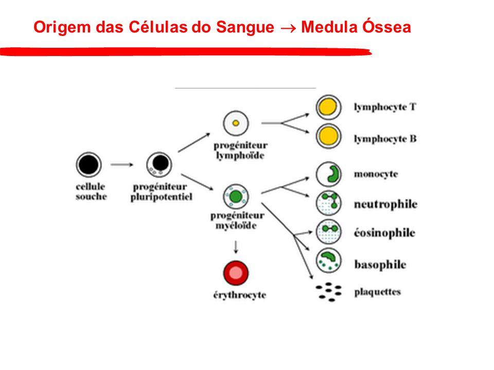 Origem das Células do Sangue  Medula Óssea