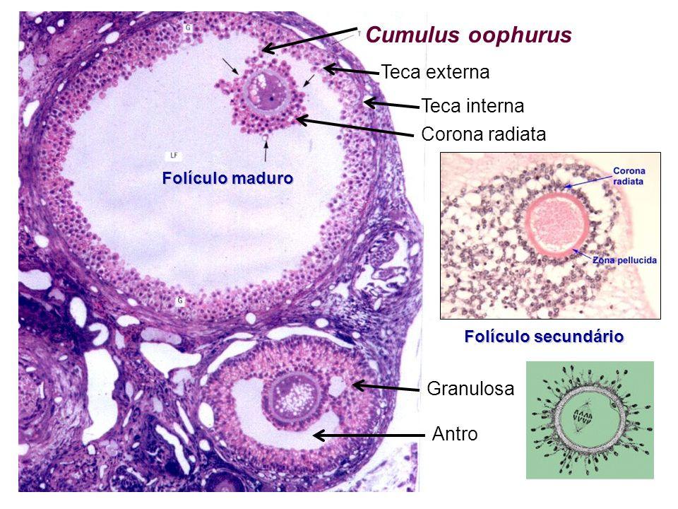 Cumulus oophurus Teca externa Teca interna Corona radiata Granulosa