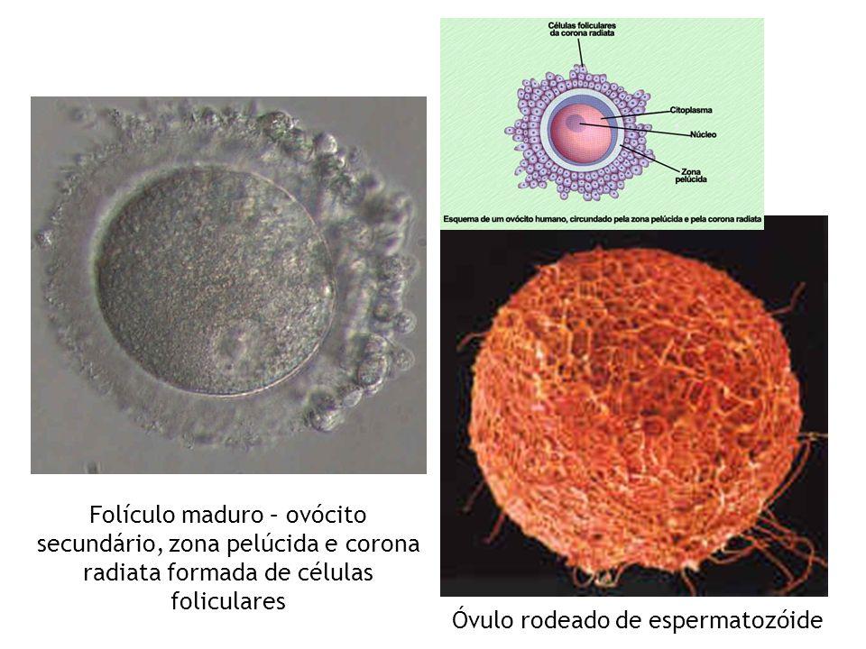 Óvulo rodeado de espermatozóide