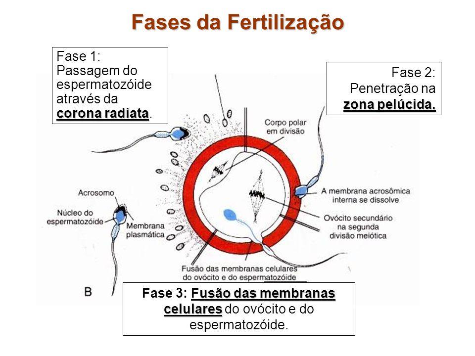 Fase 3: Fusão das membranas celulares do ovócito e do espermatozóide.