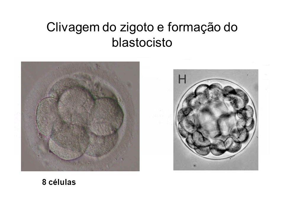 Clivagem do zigoto e formação do blastocisto