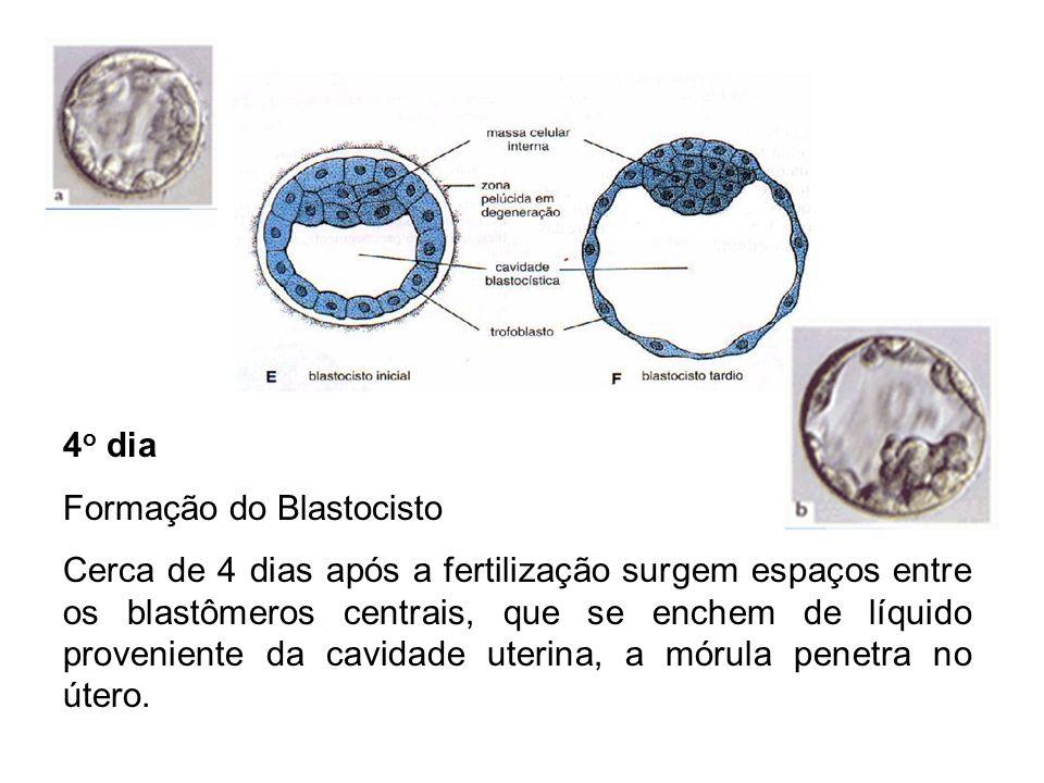 4o dia Formação do Blastocisto.