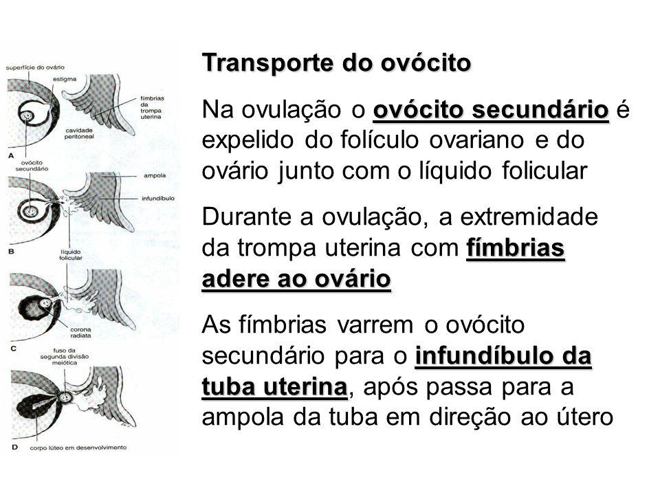 Transporte do ovócito Na ovulação o ovócito secundário é expelido do folículo ovariano e do ovário junto com o líquido folicular.