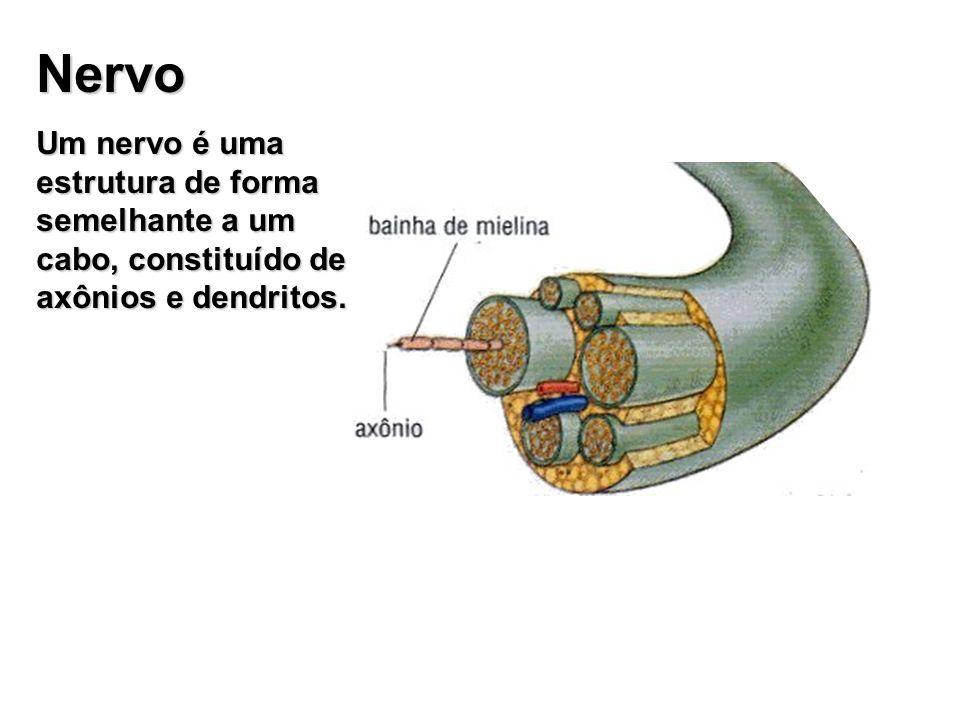 Nervo Um nervo é uma estrutura de forma semelhante a um cabo, constituído de axônios e dendritos.