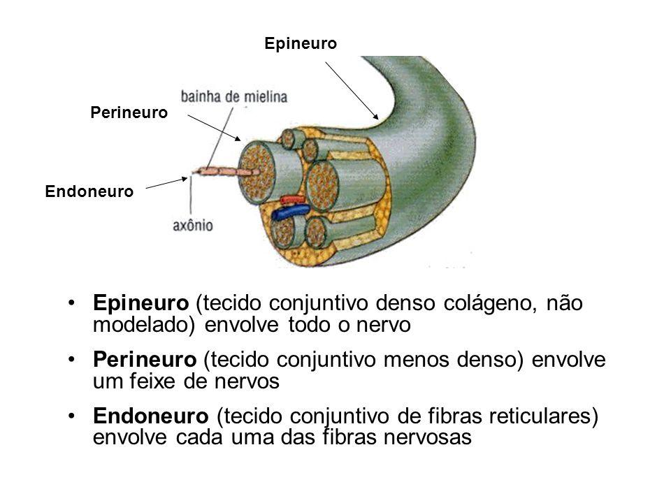 Perineuro (tecido conjuntivo menos denso) envolve um feixe de nervos