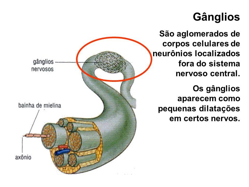 Gânglios São aglomerados de corpos celulares de neurônios localizados fora do sistema nervoso central.