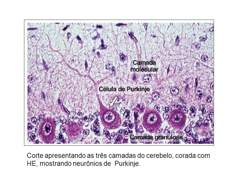Corte apresentando as três camadas do cerebelo, corada com HE, mostrando neurônios de Purkinje.