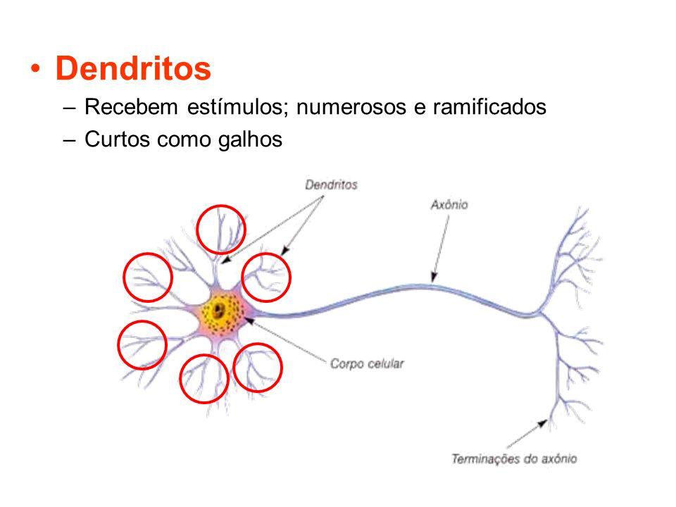 Dendritos Recebem estímulos; numerosos e ramificados