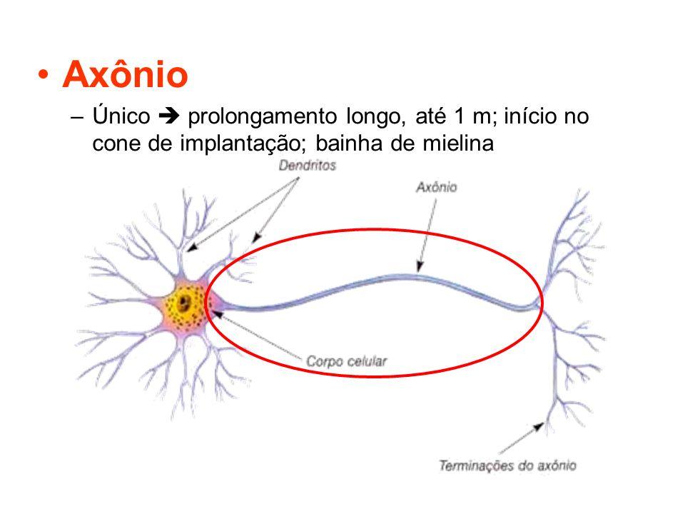 Axônio Único  prolongamento longo, até 1 m; início no cone de implantação; bainha de mielina