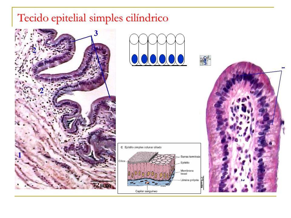 Tecido epitelial simples cilíndrico