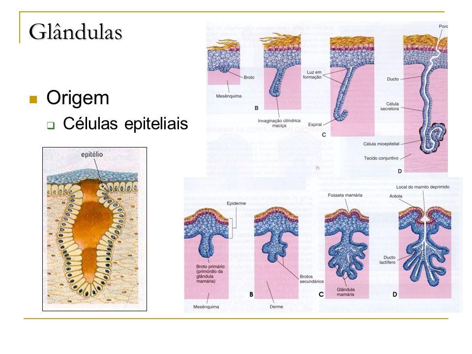Glândulas Origem Células epiteliais