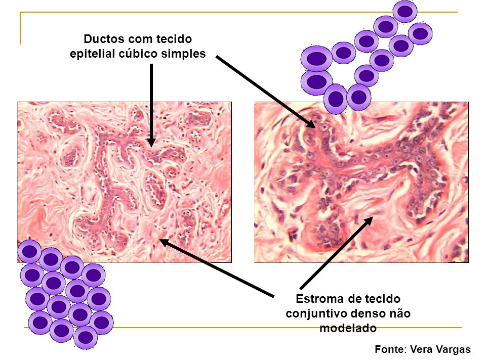 Ductos com tecido epitelial cúbico simples