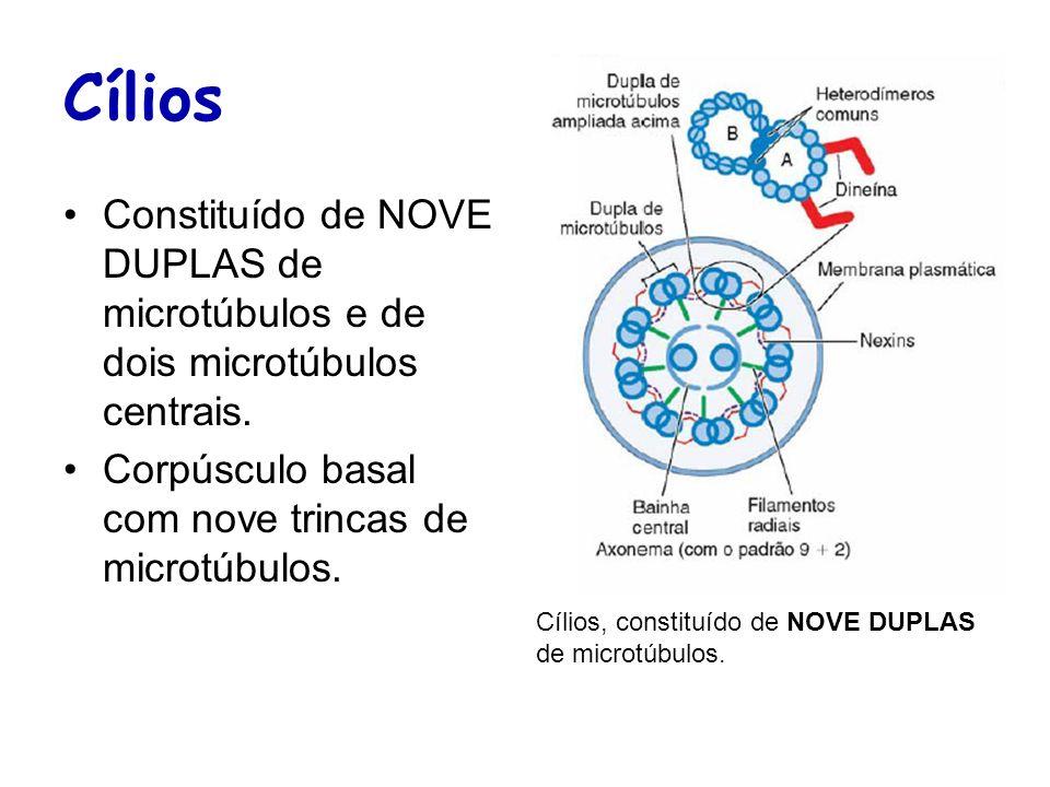 CíliosConstituído de NOVE DUPLAS de microtúbulos e de dois microtúbulos centrais. Corpúsculo basal com nove trincas de microtúbulos.