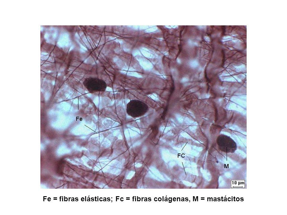 Fe = fibras elásticas; Fc = fibras colágenas, M = mastácitos