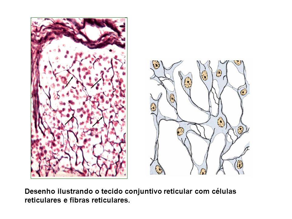 Desenho ilustrando o tecido conjuntivo reticular com células reticulares e fibras reticulares.
