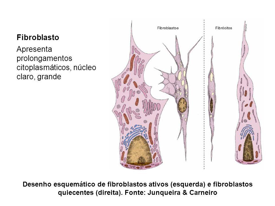 Apresenta prolongamentos citoplasmáticos, núcleo claro, grande