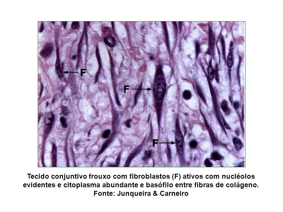 Tecido conjuntivo frouxo com fibroblastos (F) ativos com nucléolos evidentes e citoplasma abundante e basófilo entre fibras de colágeno.