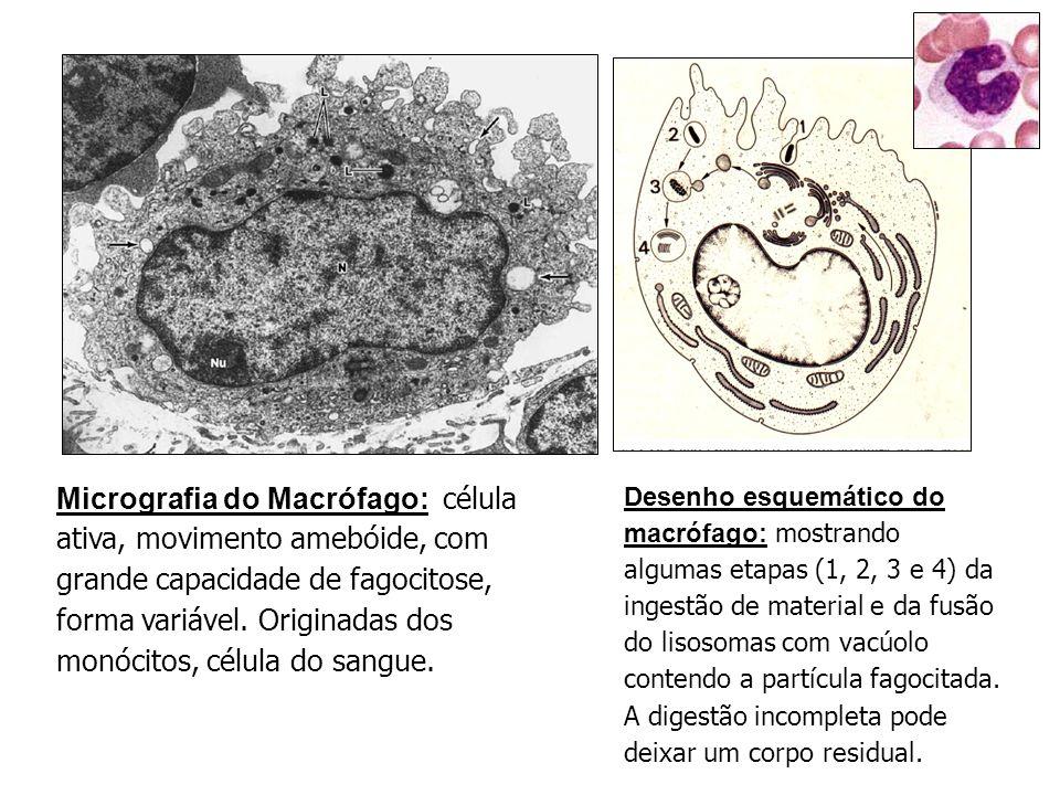 Micrografia do Macrófago: célula ativa, movimento amebóide, com grande capacidade de fagocitose, forma variável. Originadas dos monócitos, célula do sangue.
