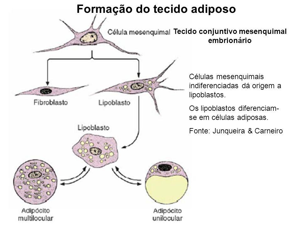 Formação do tecido adiposo Tecido conjuntivo mesenquimal embrionário