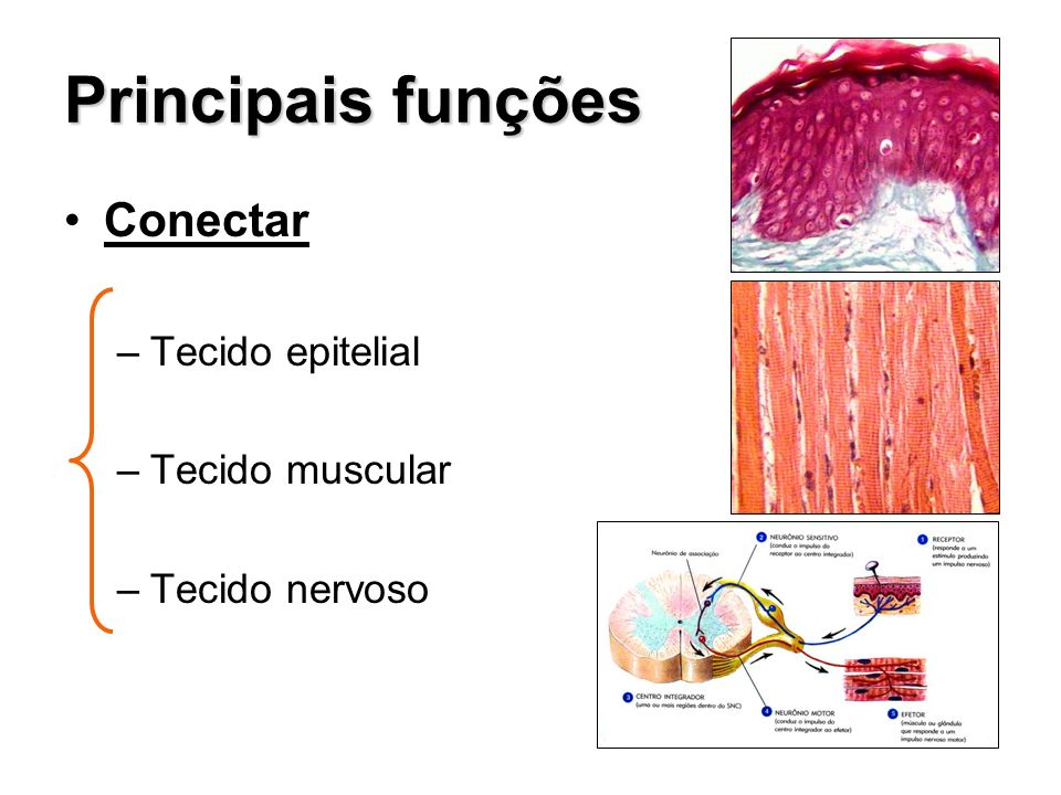Principais funções Conectar Tecido epitelial Tecido muscular