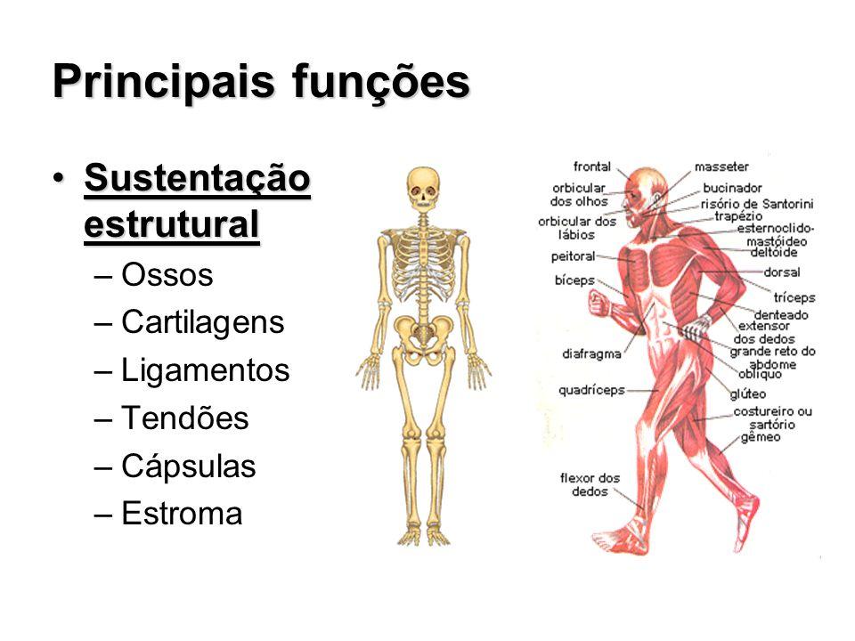 Principais funções Sustentação estrutural Ossos Cartilagens Ligamentos
