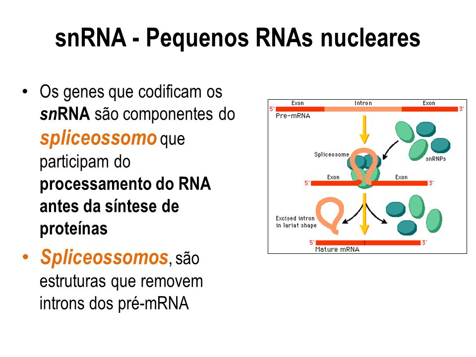 snRNA - Pequenos RNAs nucleares