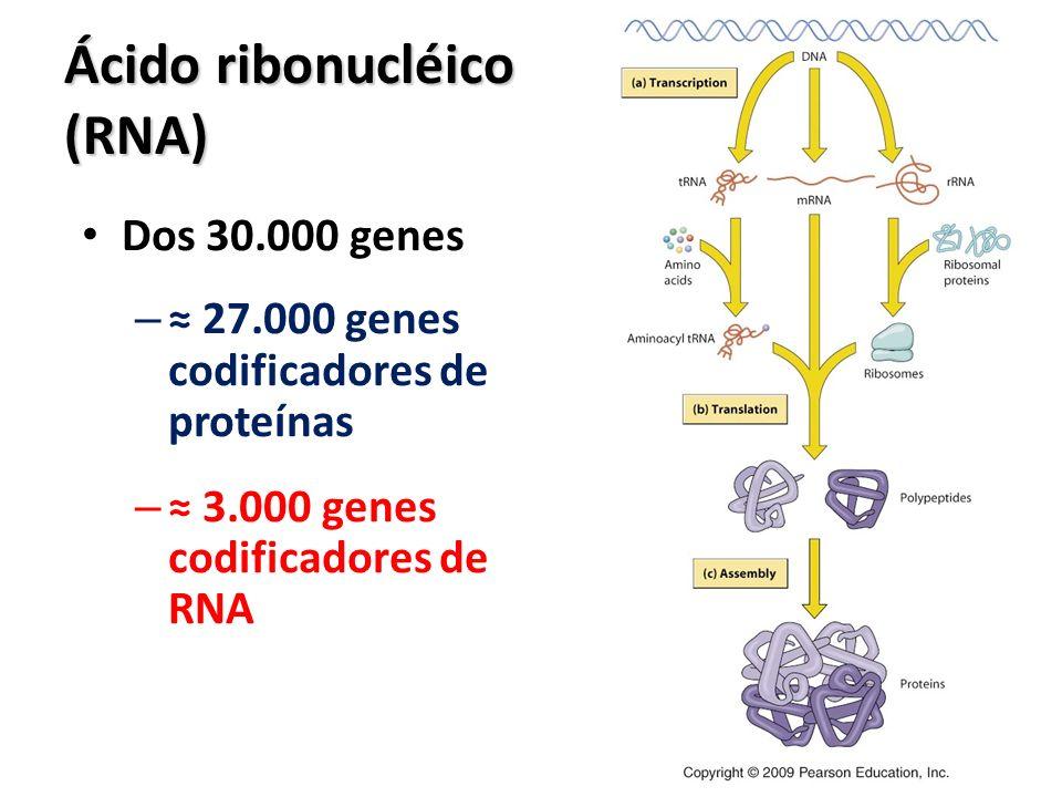 Ácido ribonucléico (RNA)