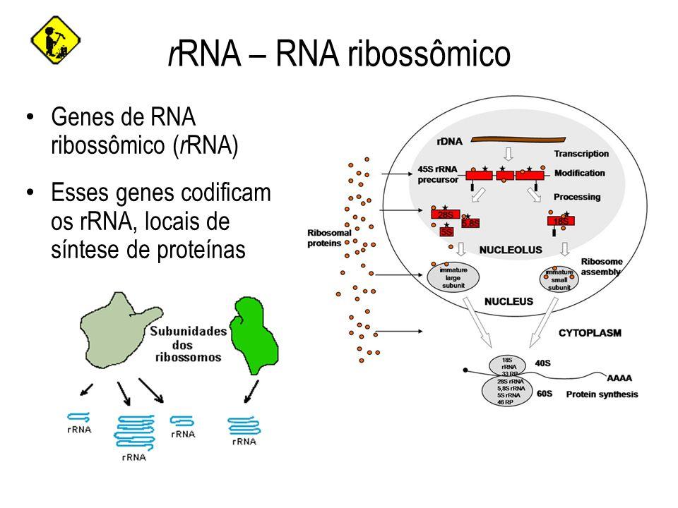 rRNA – RNA ribossômico Genes de RNA ribossômico (rRNA)