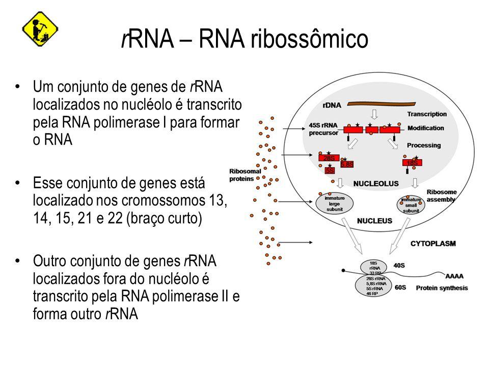 rRNA – RNA ribossômico Um conjunto de genes de rRNA localizados no nucléolo é transcrito pela RNA polimerase I para formar o RNA.