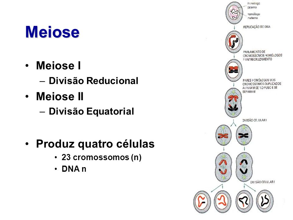 Meiose Meiose I Meiose II Produz quatro células Divisão Reducional