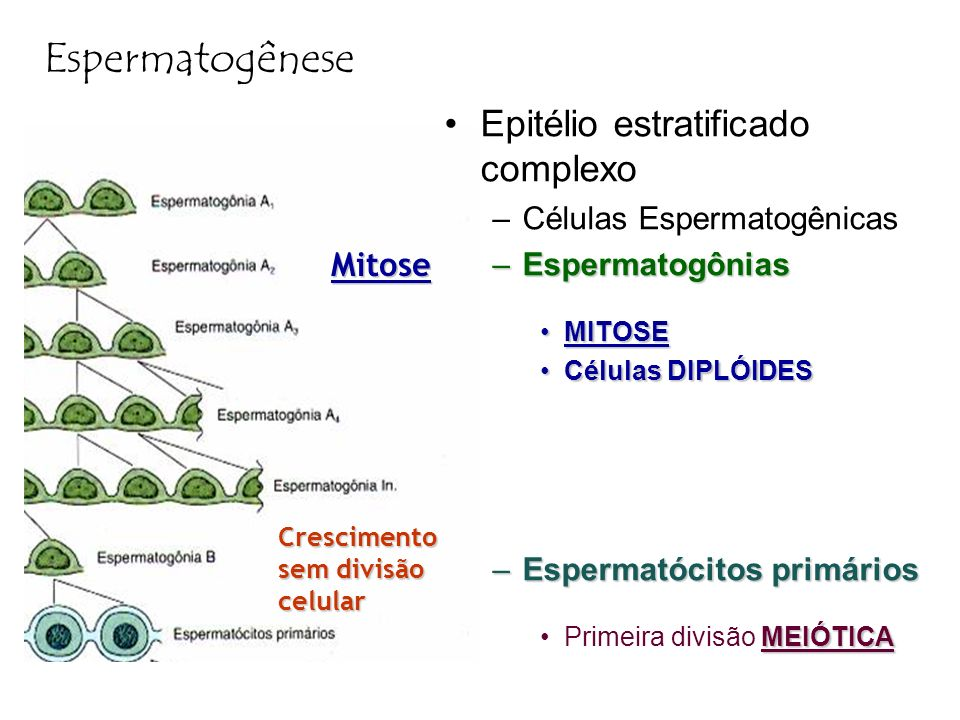 Espermatogênese Epitélio estratificado complexo Mitose