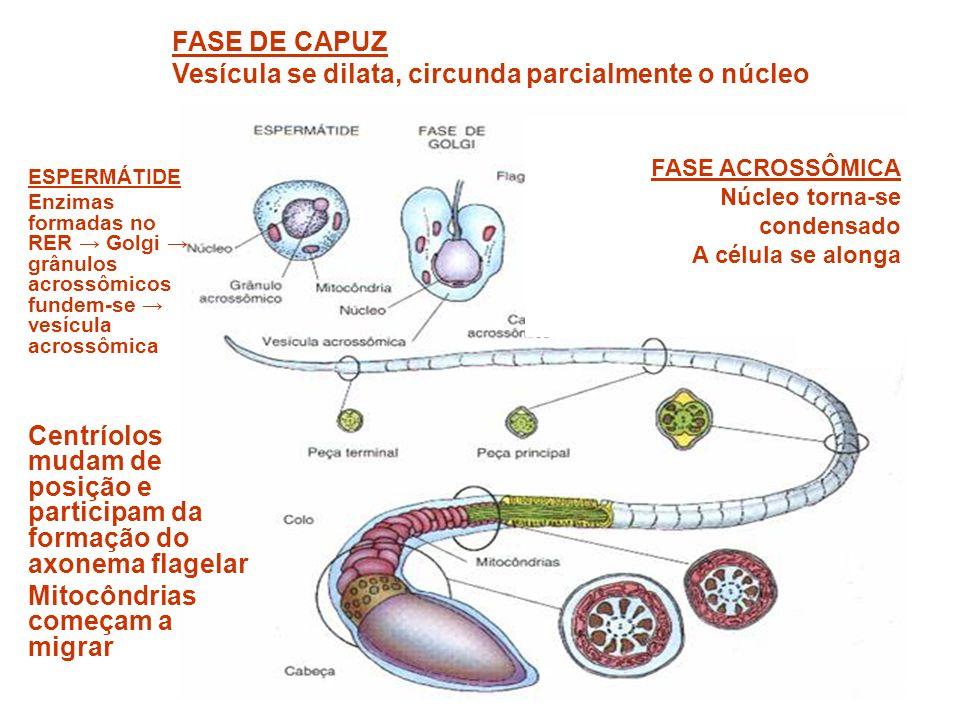 Vesícula se dilata, circunda parcialmente o núcleo