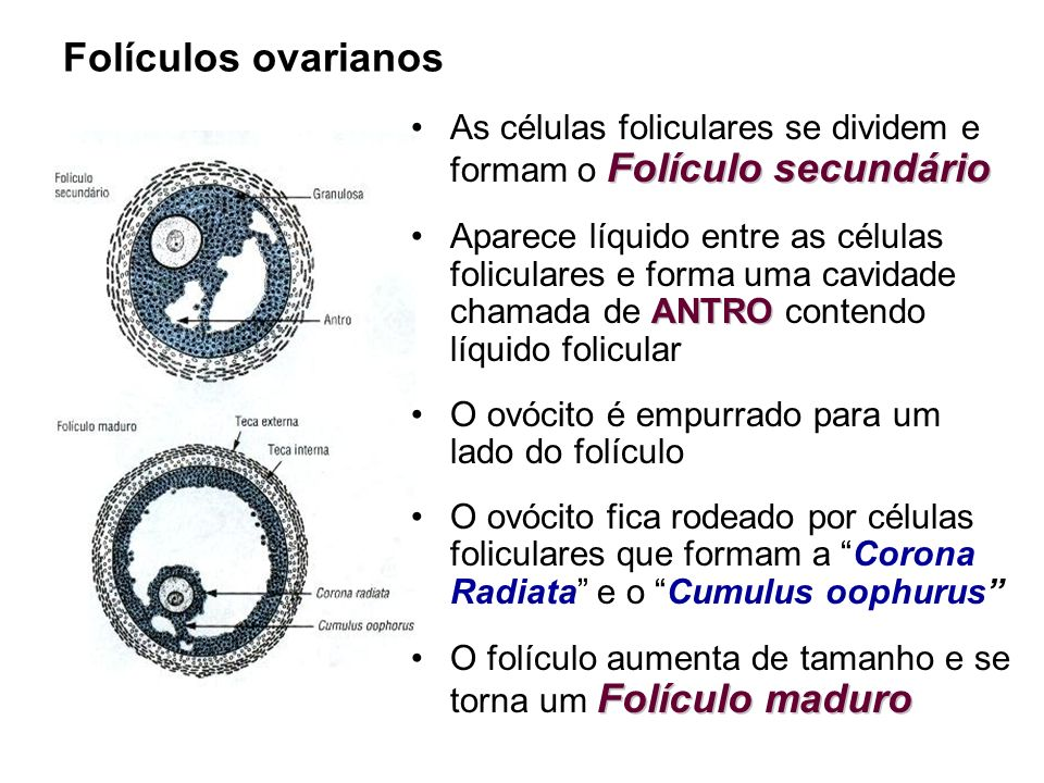 Folículos ovarianos As células foliculares se dividem e formam o Folículo secundário.