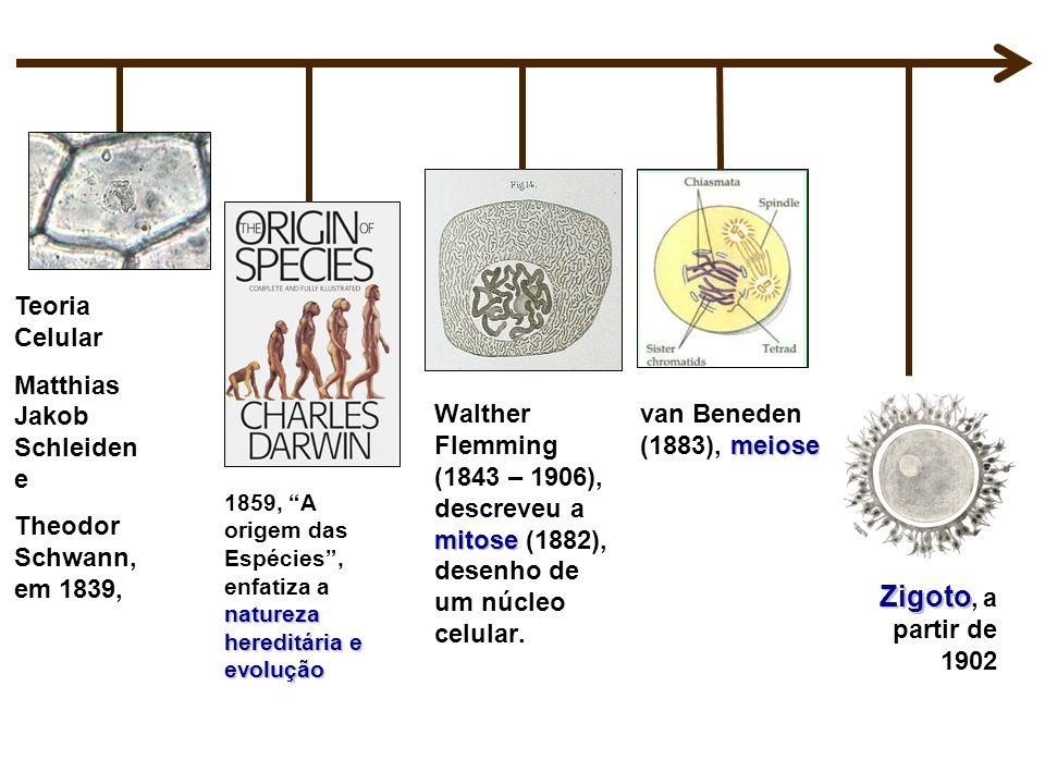 Zigoto, a partir de 1902 Teoria Celular Matthias Jakob Schleiden e