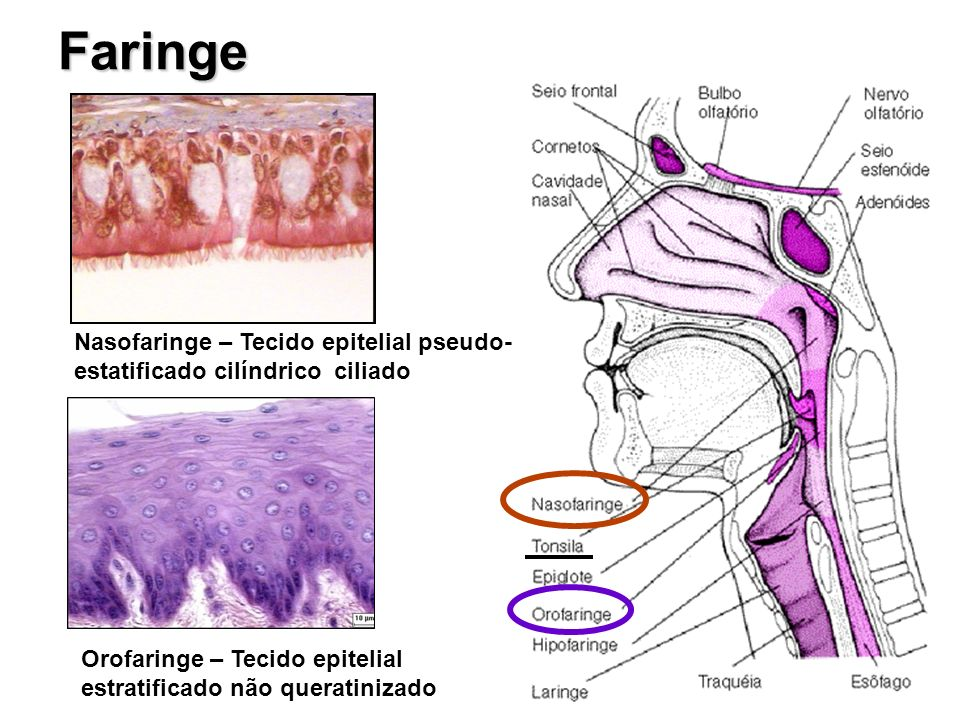 Faringe Nasofaringe – Tecido epitelial pseudo-estatificado cilíndrico ciliado.