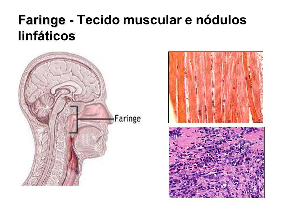 Faringe - Tecido muscular e nódulos linfáticos