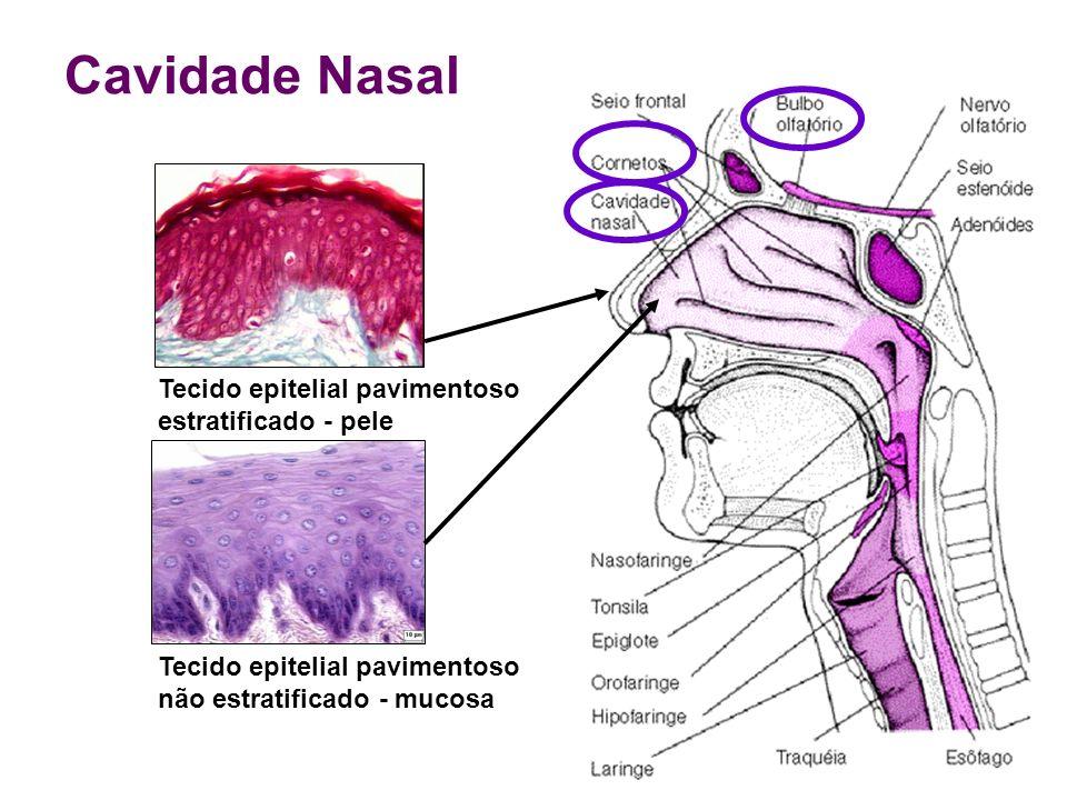 Cavidade Nasal Tecido epitelial pavimentoso estratificado - pele