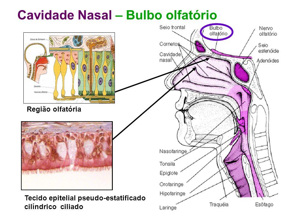 Cavidade Nasal – Bulbo olfatório