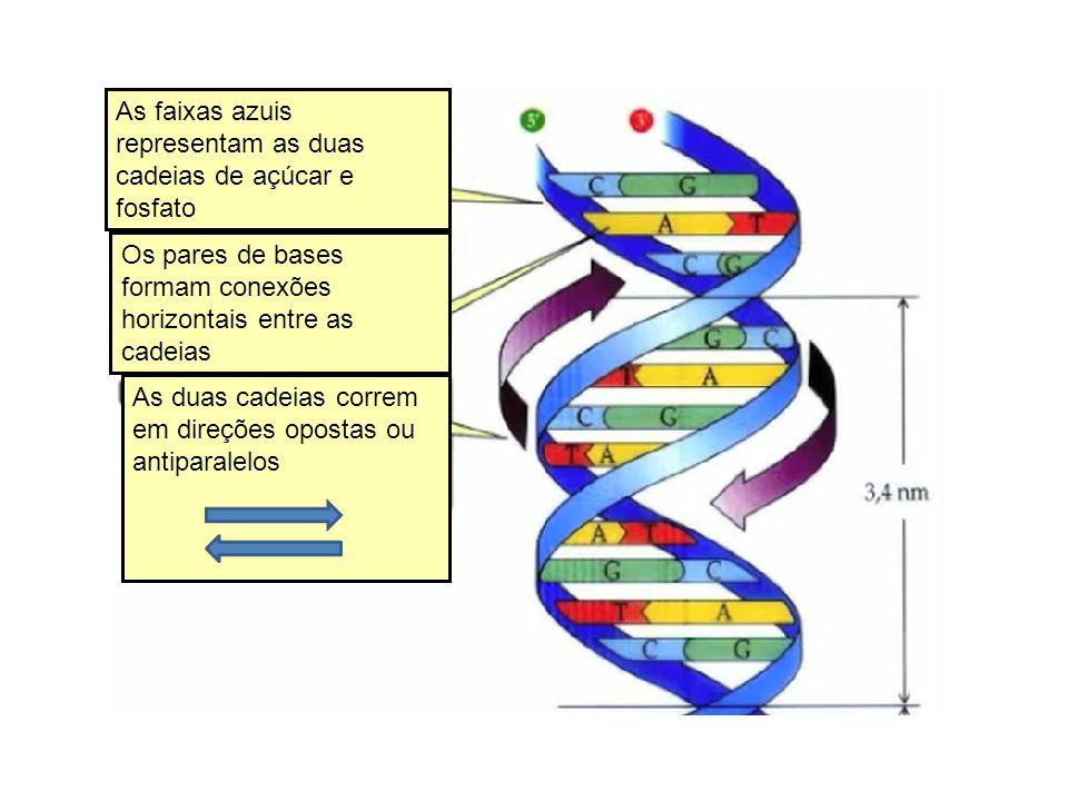As faixas azuis representam as duas cadeias de açúcar e fosfato