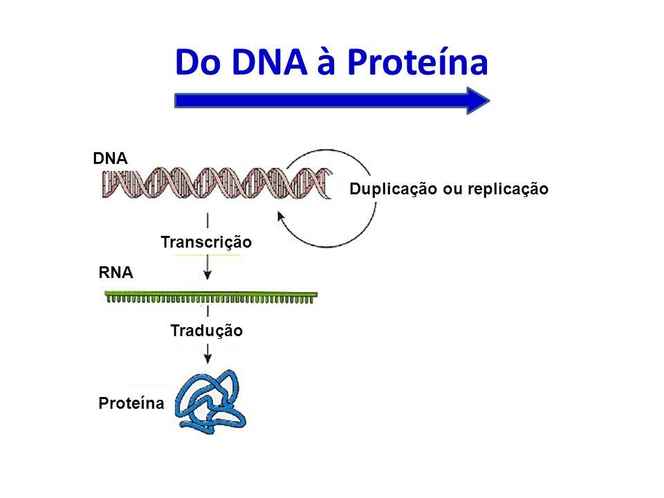 Do DNA à Proteína DNA Duplicação ou replicação Transcrição RNA