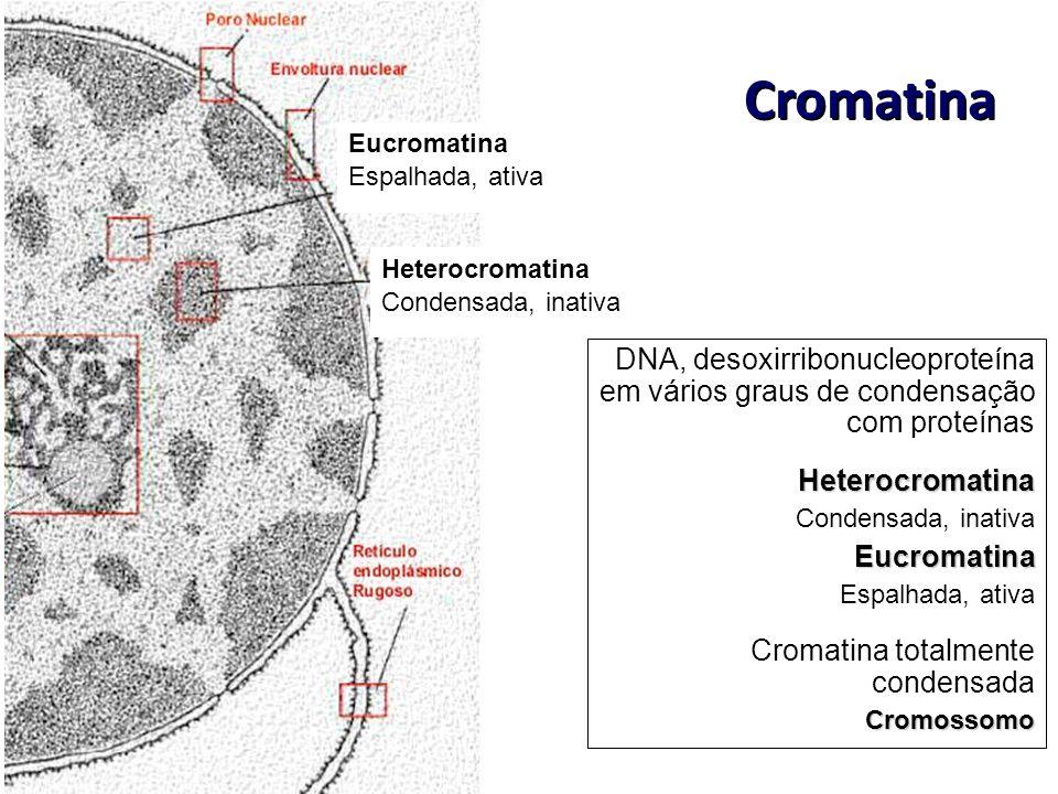 Heterocromatina Condensada, inativa. Eucromatina. Espalhada, ativa. Cromatina.