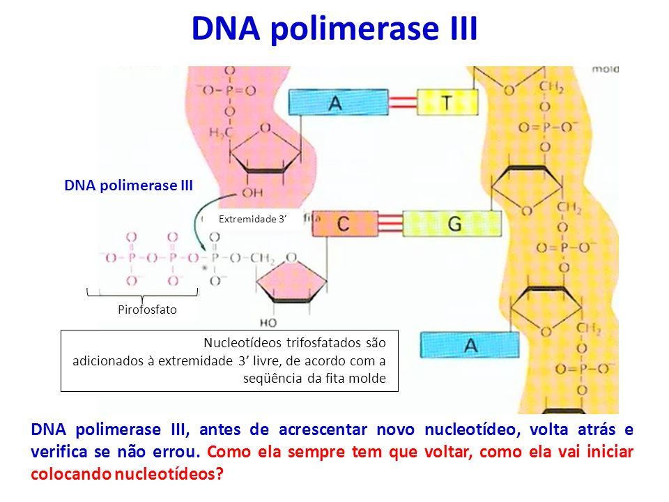 DNA polimerase III Extremidade 3' Nucleotídeos trifosfatados são. adicionados à extremidade 3' livre, de acordo com a seqüência da fita molde.