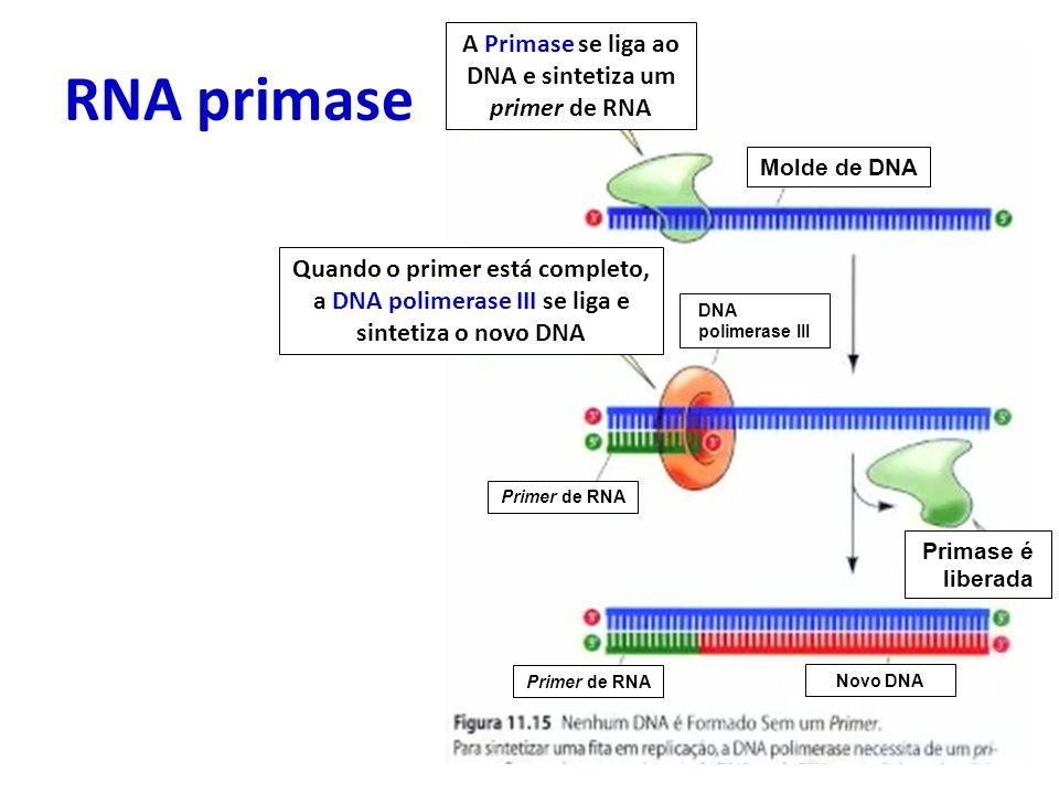 A Primase se liga ao DNA e sintetiza um primer de RNA