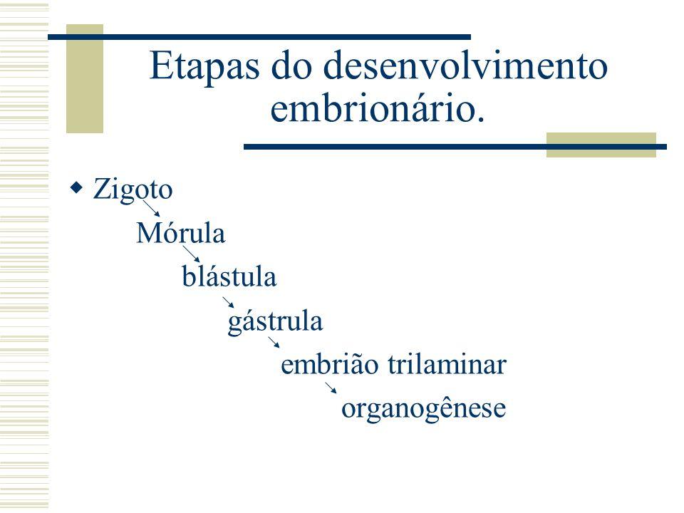 Etapas do desenvolvimento embrionário.